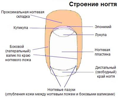 Строение ногтя рисунок и описание